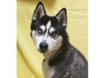 Adopt OZZY a White - with Black Husky / Mixed dog in Fairfield, CA (25553194)