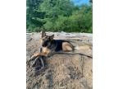 Adopt Georgy a German Shepherd Dog