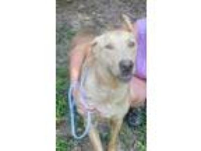 Adopt Caroline (Fostered in TN) a Tan/Yellow/Fawn Labrador Retriever / Greyhound