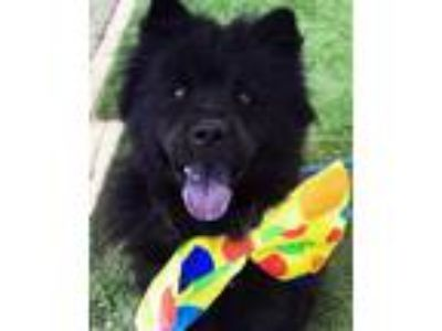 Adopt Duke a Black Chow Chow / Mixed dog in Ventura, CA (23159148)