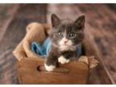 Adopt Tom KITTEN a Gray or Blue (Mostly) Domestic Shorthair / Mixed (short coat)