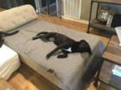 Adopt Sister a Black Labrador Retriever dog in Deer Park, TX (23924457)
