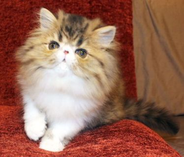 brown mac tabby & white persian male - cfa reg