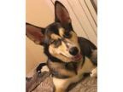 Adopt Bonnie a Tricolor (Tan/Brown & Black & White) Husky / Corgi / Mixed dog in