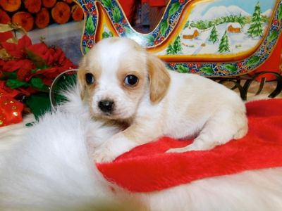 Beagle PUPPY FOR SALE ADN-107214 - Beaglier Prespoiled Financing Great for Kids