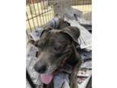 Adopt Nalah a Gray/Blue/Silver/Salt & Pepper American Pit Bull Terrier / Mixed