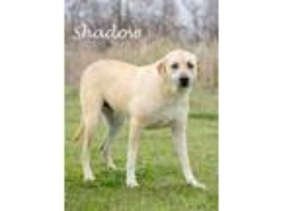 Adopt Shadow a Tan/Yellow/Fawn Labrador Retriever / Anatolian Shepherd / Mixed