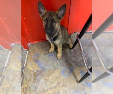 German Shepherd Dog PUPPY FOR SALE ADN-130682 - 2 month old German Shepard
