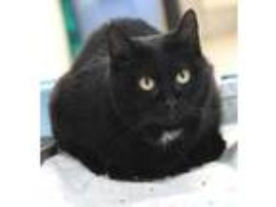 Adopt Cubby Bear a Domestic Shorthair / Mixed (short coat) cat in Crystal Lake