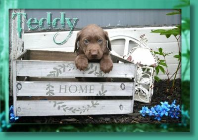 Teddy Male Labrador Retriever
