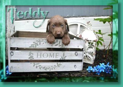 Teddy Male Labrador Retriever