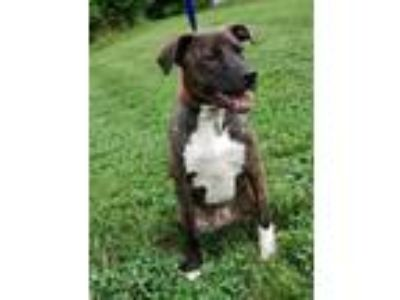 Adopt Harley a Brindle - with White Boxer / Mixed dog in Waldorf, MD (25854120)