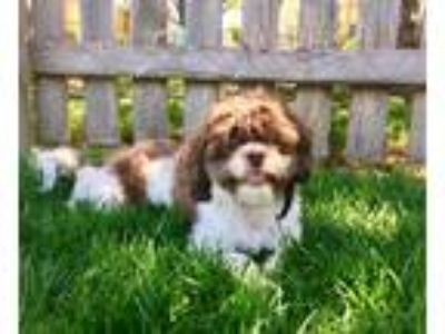 Adopt Bucky a Brown/Chocolate - with White Shih Tzu / Mixed dog in Lees Summit