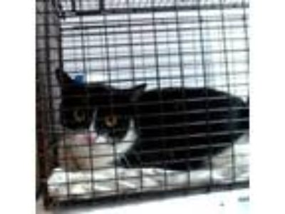 Adopt Ariel a White Domestic Shorthair cat in Knoxville, TN (25542488)