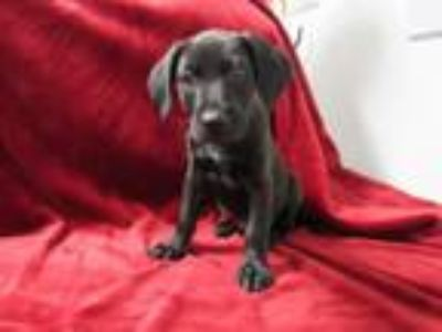 Adopt Adopathon puppies a Labrador Retriever, Shepherd