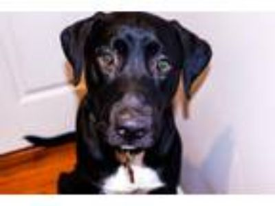 Adopt Enzo a Black - with White Great Dane / American Pit Bull Terrier dog in