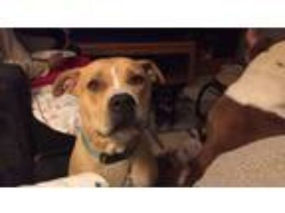Adopt Lupe a Tan/Yellow/Fawn American Pit Bull Terrier dog in Winnemucca