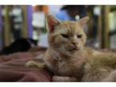 Adopt Tiny (Sponsored; front declawed) a Domestic Shorthair / Mixed (short coat)