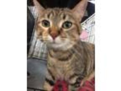Adopt Miss Kitty 2 a Brown Tabby Domestic Shorthair / Mixed (short coat) cat in