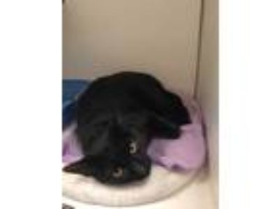 Adopt Apollo a All Black Domestic Shorthair / Domestic Shorthair / Mixed cat in