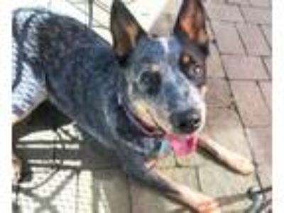 Adopt Bucky a Australian Cattle Dog / Blue Heeler