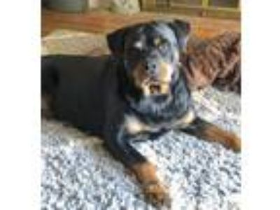Adopt Holly Berry a Rottweiler
