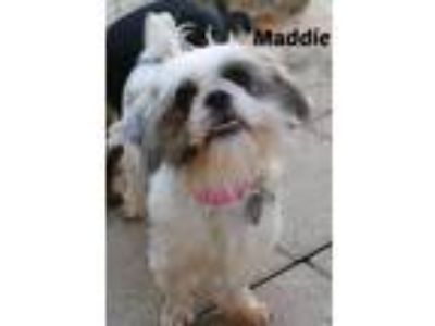 Adopt Maddie a White - with Gray or Silver Shih Tzu / Mixed dog in Shreveport
