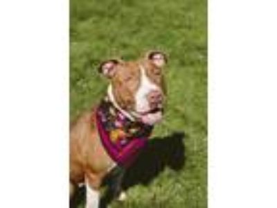 Adopt Zelda a Brown/Chocolate American Pit Bull Terrier / Mixed dog in Syracuse