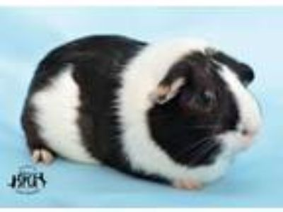 Adopt Aliyah at Jefferson Feed (Metairie) a Guinea Pig