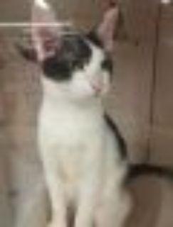Scooter Tuxedo - Domestic Short Hair Cat