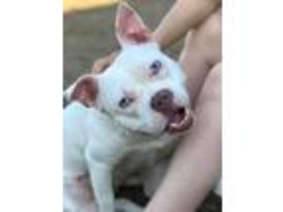 Adopt Hibiscus a Pit Bull Terrier