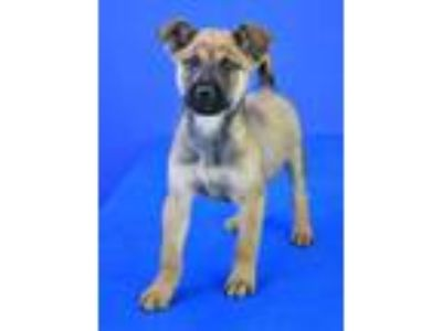 Adopt (found) Dasher a Red/Golden/Orange/Chestnut Shepherd (Unknown Type) /