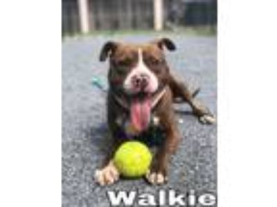 Adopt Walkie a Pit Bull Terrier