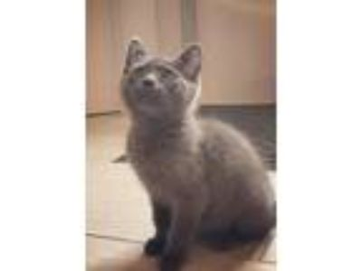 Adopt Arya a Gray or Blue (Mostly) Domestic Shorthair (short coat) cat in
