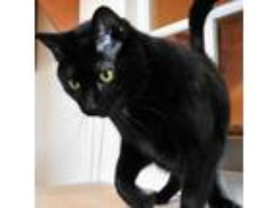 Adopt Mambo a All Black Domestic Shorthair cat in Green Bay, WI (25881231)
