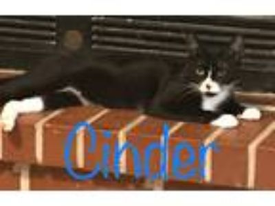 Adopt Cinder a Black & White or Tuxedo Domestic Shorthair (short coat) cat in