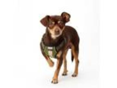 Adopt Twix a Brown/Chocolate - with Tan Miniature Pinscher / Terrier (Unknown