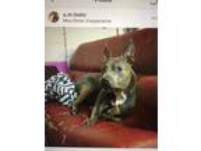 Adopt Lillith a Gray/Blue/Silver/Salt & Pepper American Pit Bull Terrier dog in