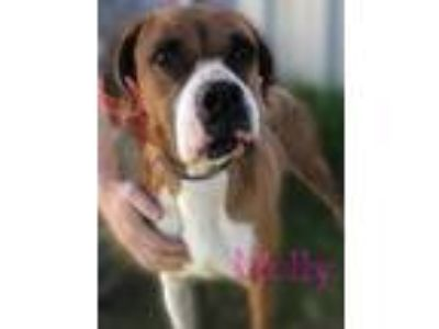 Adopt Molly a Red/Golden/Orange/Chestnut Boxer / Mixed dog in Coleman