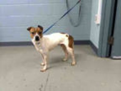 Adopt SPARKY a White - with Brown or Chocolate Beagle / Rat Terrier / Mixed dog