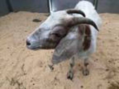 Adopt LILLY a Sheep