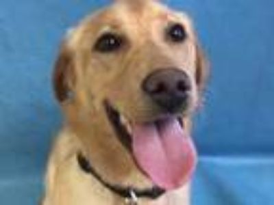 Adopt Cherry Lime a Tan/Yellow/Fawn Labrador Retriever / Mixed dog in St.
