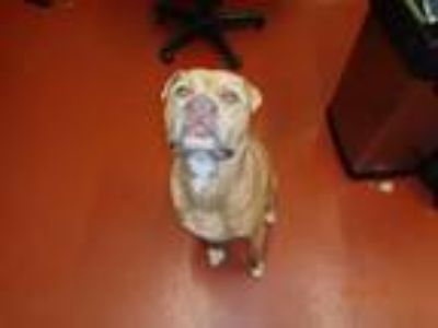 Adopt Gino a Brown/Chocolate American Pit Bull Terrier dog in Douglasville