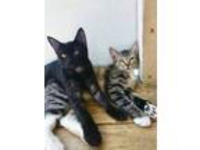 Adopt Bean a Brown or Chocolate (Mostly) Domestic Shorthair (short coat) cat in