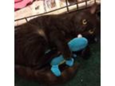 Adopt Luna [CP] a Domestic Short Hair