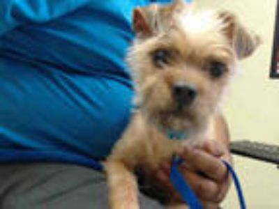 Adopt GIZMO a Brown/Chocolate Brussels Griffon / Mixed dog in Pasadena