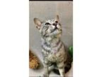 Adopt Thunder a Gray or Blue Domestic Shorthair / Domestic Shorthair / Mixed cat