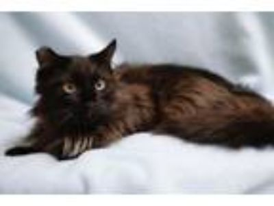 Adopt Smoky a Domestic Long Hair