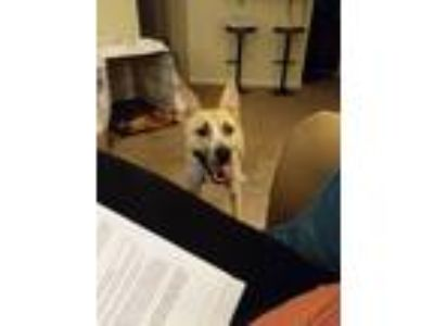 Adopt Mei a Tan/Yellow/Fawn - with White German Shepherd Dog / Labrador