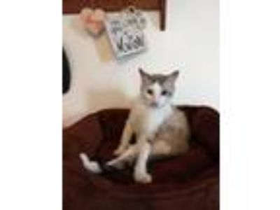 Adopt Eric a Spotted Tabby/Leopard Spotted Siamese cat in Mackinaw